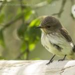 Spotted Flycatcher Laikenbuie 13 July 2014 Seamus McArdle