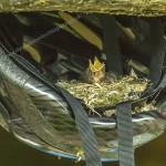 Spotted Flycatcher Laikenbuie 21 July 2014 Seamus McArdle 1