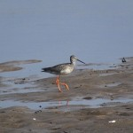 Spotted Redshank Lossie estuary 5 Sept 2014 Martin Cook