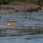 Spotted Redshank Lossie estuary 9 Sept 2014 David Main