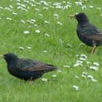 Starling Tugnet 11 May 2014 Bob Proctor