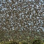 Starlings Findhorn Bay 2 July 2014 David Main 1