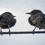 Starlings Lethen 8 Jun 2018 Jack Harrison