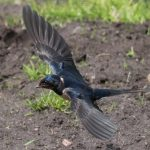 Swallow Dunphail 24 May 2017 Mike Crutch P