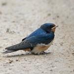 Swallow Loch Spynie 17 Jul 2015 Gordon Biggs 1