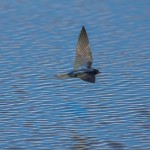 Swallow Lossie estuary 14 July 2014 David Main