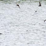 Swifts Lower Broadshaw 2 Jul 2017 Alison Ritchie