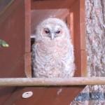 Tawny Owl Mayne 19 May 2014 Mike Murray