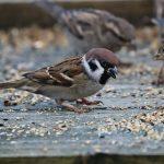Tree Sparrow Clochan 11 Nov 2017 Martin Cook 2P