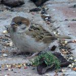 Tree Sparrow Forres 24 Jun 2017 Alison Ritchie