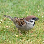 Tree Sparrow Rafford 13 May 2015 Gordon Biggs