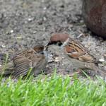 Tree Sparrow Rafford 29 Jun 2015 Gordon Biggs