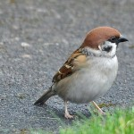 Tree Sparrow Rafford 4 Apr 2015 Gordon Biggs
