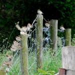 Tree Sparrows Auchanhandoch 25 June 2014 Fiona McHugh