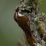 Treecreeper Loch Spynie 19 May 2013 David Main
