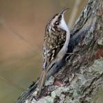 Treecreeper Loch Spynie 30 Dec 2014 Gordon Biggs