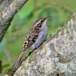 Treecreeper Loch Spynie 4 Aug 2014 Gordon Biggs