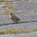 Twite Findhorn 5 Mar 2015 Tony Backx