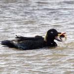 Velvet Scoter Findhorn Bay 1 Feb 2014 Richard Somers Cocks 2