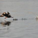 Velvet Scoter Findhorn Bay 8 Feb 2014 Gordon McMullins