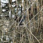 Water Rail Loch Spynie 8 Jan 2017 Lisa Stewart