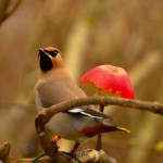 Waxwing with CR Bishopmill 23 March 2013 David Main