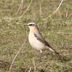 Wheatear Findhorn Bay 4 May 2015 Richard Somers Cocks