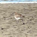 Whimbrel Findhorn Bay 17 Apr 2018 Richard Somers Cocks