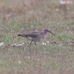 Whimbrel Findhorn Bay 6 Oct 2014 Richard Somers Cocks