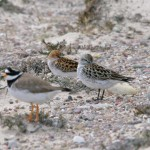 White Rumped Sandpiper and Little Stint Findhorn 11 June 2013 Tony Backx