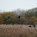 White fronted Geese Loch Spynie 14 Nov 2015 Gordon Biggs P