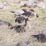 White fronted Goose Findhorn Bay 15 Apr 2015 Richard Somers Cocks