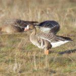 White fronted Goose Findhorn Bay 5 Mar 2017 Richard Somers Cocks