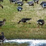 White fronted Goose Muirton 5 Feb 2017 Duncan Gibson P