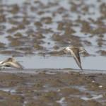 White rumped Sandpiper Findhorn Bay 11 June 2013 Richard Somers Cocks 3