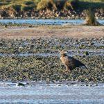 White tailed Eagle Spey estuary 10 Dec 2017 Martin Cook 3