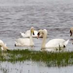 Whooper Swan Findhorn Bay 14 June 2014 Richard Somers Cocks