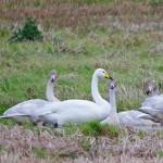 Whooper Swan North Alves 6 Nov 2014 Tony Backx