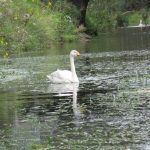 Whooper Swan Spynie Canal 7 Aug 2017