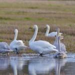 Whooper Swans Calcots 5 Nov 2014 David Main