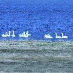 Whooper Swans Findhorn Bay 13 Mar 2017 Gordon McMullins