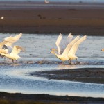 Whooper Swans Findhorn Bay 16 Nov 2015 Richard Somers Cocks