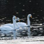 Whooper Swans Loch Oire 12 Dec 2017 Martin Cook