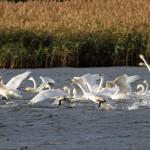 Whooper Swans Loch Spynie 1 Nov 2013 Gordon Biggs