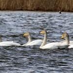 Whooper Swans Loch Spynie 15 Apr 2013 Gordon Biggs