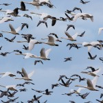 Whooper Swans and Pink footed Geese Bailliesland 23 Oct 2014 David Devonport