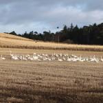 Whooper Swans near Lhanbryde 1 Jan 2013 Gordon Biggs 41