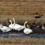 Whooper Swans near Milltown airfield 10 Oct 2017 Gordon Biggs