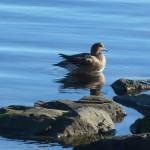 Wigeon Lossie estuary 1 Mar 2014 Bob Proctor