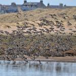 Wigeon Lossie estuary 13 Feb 2015 Gordon Biggs